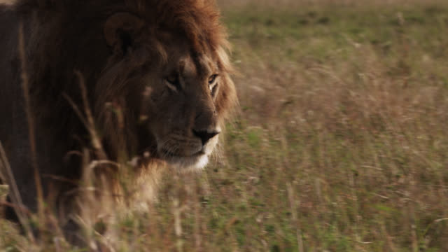 male lion (panthera leo) walks on savannah, kenya - male animal stock videos & royalty-free footage