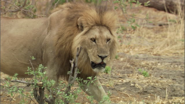 vídeos de stock, filmes e b-roll de male lion walks through bush, botswana - machos