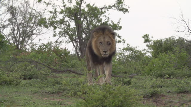 slo mo la male lion walks towards camera in, kruger national park, south africa - mpumalanga province stock videos and b-roll footage