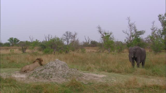 male lion watching an elephant eating grass - ボツワナ点の映像素材/bロール