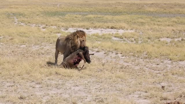 male lion with it's kill:a wildebeest - lion stock videos & royalty-free footage