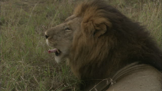 a male lion yawns as its rests on kenyan grasslands. - wildlife reserve stock videos & royalty-free footage