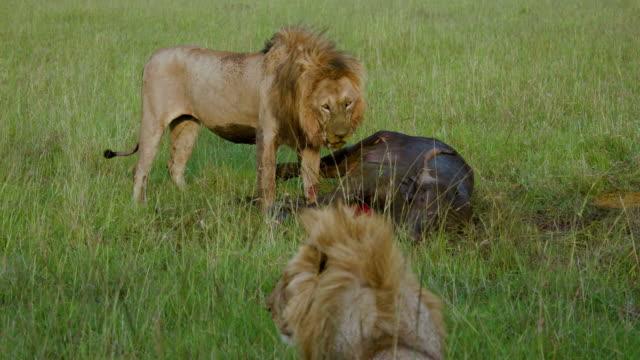 male lions & buffalo kill, maasai mara, kenya, africa - killing stock videos & royalty-free footage