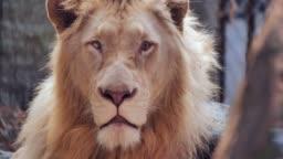 Male lion's portrait,Lion Face.360 VR Wildlife