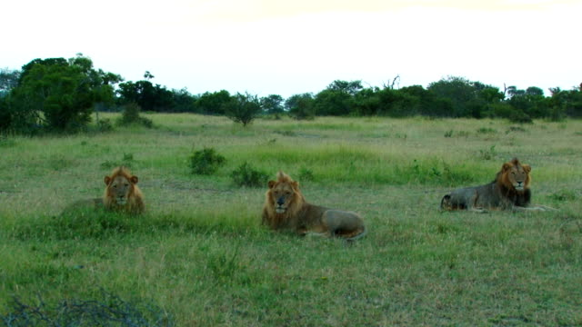 vídeos de stock, filmes e b-roll de male lions resting/ kruger national park/ south africa - três animais