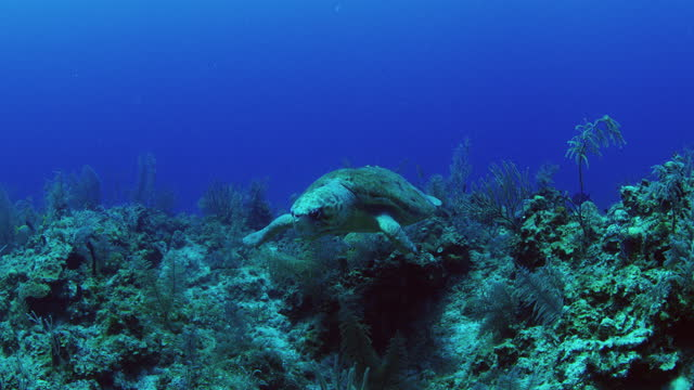 male loggerhead turtle with short left fin probably from shark attack - caretta caretta stock videos & royalty-free footage