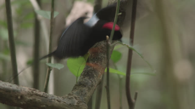 Male long tailed manakin (Chiroxiphia linearis) clears leaves from display ground, Costa Rica