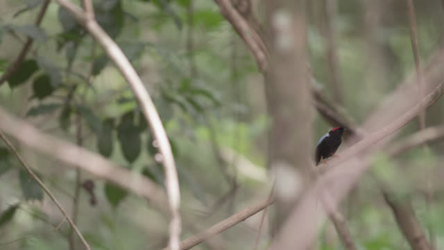 Male long tailed manakin (Chiroxiphia linearis) flies away in forest, Costa Rica