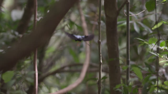 "stockvideo's en b-roll-footage met male long tailed manakin (chiroxiphia linearis) lands on display perch in forest, costa rica - ""bbc natural history"""