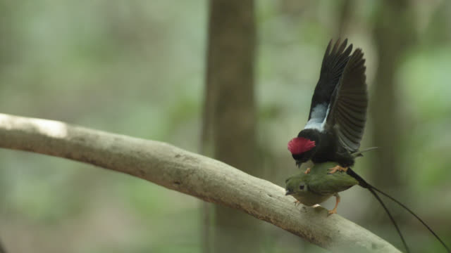 male long tailed manakin (chiroxiphia linearis) mates with female in forest, costa rica - long stock videos and b-roll footage