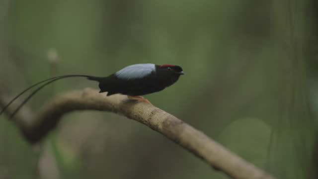 vídeos y material grabado en eventos de stock de male long tailed manakin (chiroxiphia linearis) practices courtship dance in forest, costa rica - parte del cuerpo animal