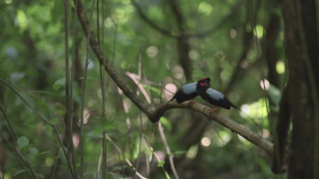 Male long tailed manakins (Chiroxiphia linearis) call from display perch in forest, Costa Rica