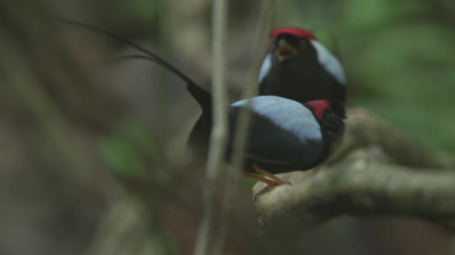 male long tailed manakins (chiroxiphia linearis) call from display perch in forest, costa rica - tail stock videos & royalty-free footage