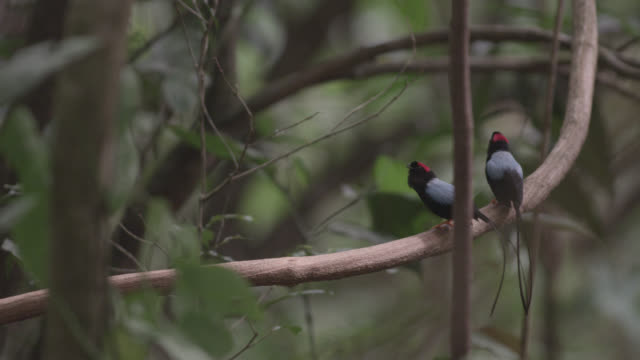 male long tailed manakins (chiroxiphia linearis) call from display perch in forest, costa rica - long stock videos & royalty-free footage