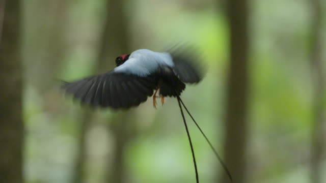 male long tailed manakins (chiroxiphia linearis) perform their courtship dance in forest, costa rica - long stock videos & royalty-free footage