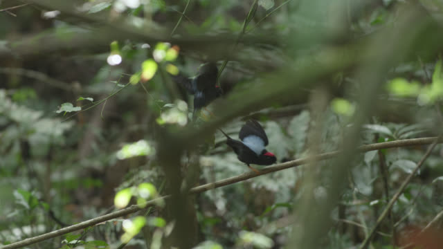 Male long tailed manakins (Chiroxiphia linearis) perform their courtship dance in forest, Costa Rica