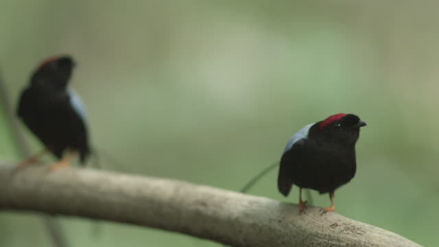 vídeos de stock e filmes b-roll de male long tailed manakins (chiroxiphia linearis) perform their courtship dance in forest, costa rica - coordenação