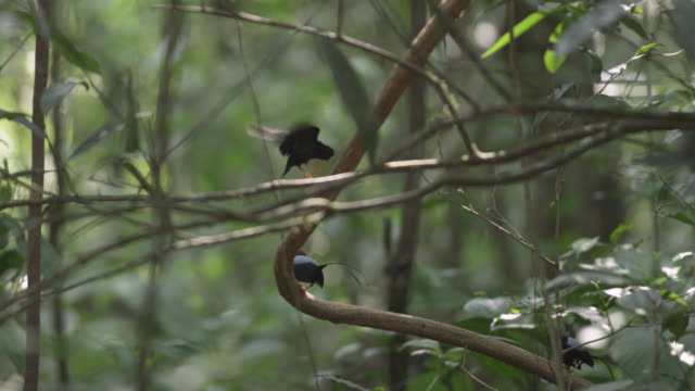 Male long tailed manakins (Chiroxiphia linearis) practice their courtship dance in forest, Costa Rica