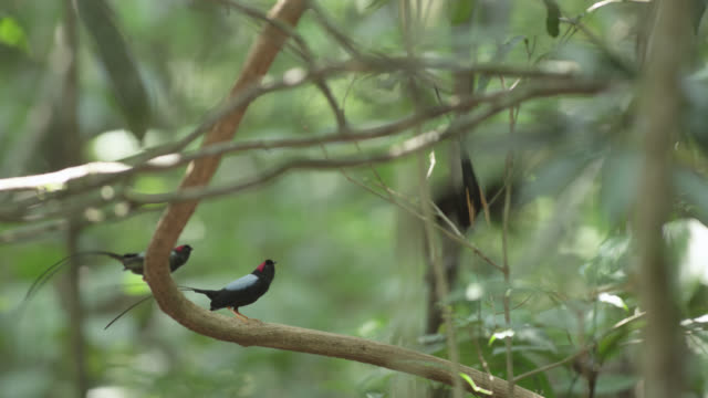 male long tailed manakins (chiroxiphia linearis) practice their courtship dance in forest, costa rica - costa rica stock videos and b-roll footage