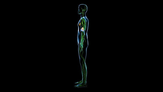 male lymphatic system - lymphsystem stock-videos und b-roll-filmmaterial