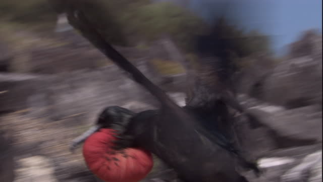 A male magnificent frigatebird lands in a treetop and scares another bird away. Available in HD.