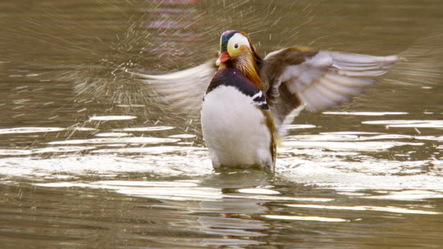 A male mandarin duck Flapping in the pond