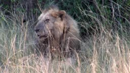 Male Maned Lion with Tracking Device