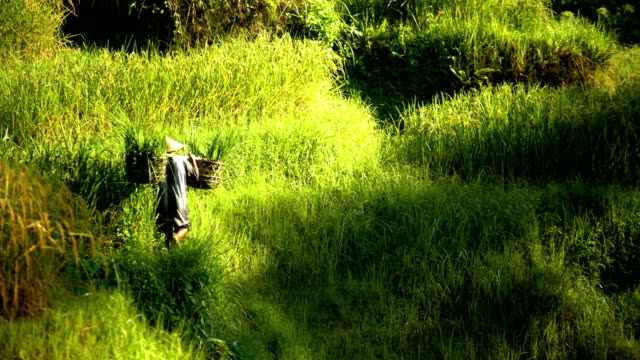 male manual worker carrying baskets of rice bali - rice plant stock videos and b-roll footage