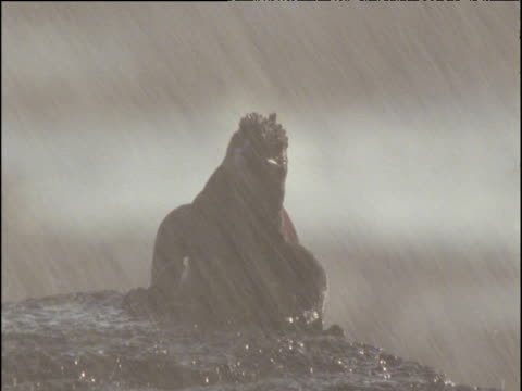 Male marine iguana sits on rock as salt spray showers down, Galapagos Islands