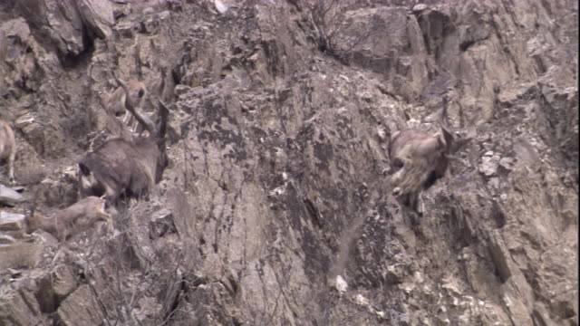 A male markhor scares away a rival. Available in HD.