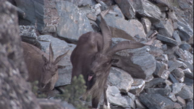 vídeos de stock, filmes e b-roll de a male markhor stands with its tongue hanging out. available in hd. - sacarrolha