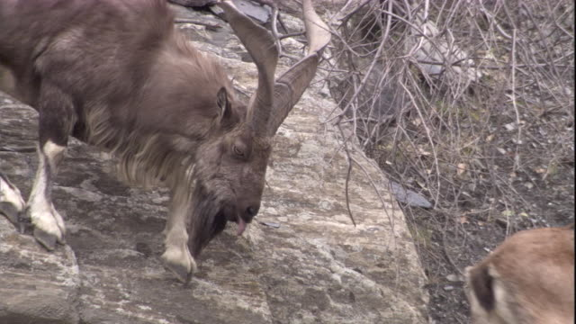 a male markhor sticks his tongue out as he sniffs a female. available in hd. - maul stock-videos und b-roll-filmmaterial