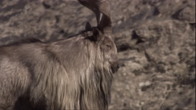 vídeos de stock, filmes e b-roll de a male markhor turns to look at the camera. available in hd. - sacarrolha