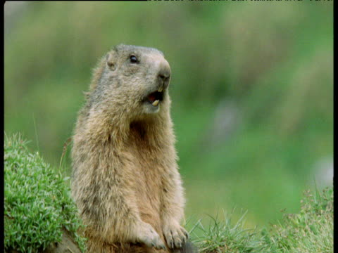 Male marmot makes territorial calls in Alps, Switzerland