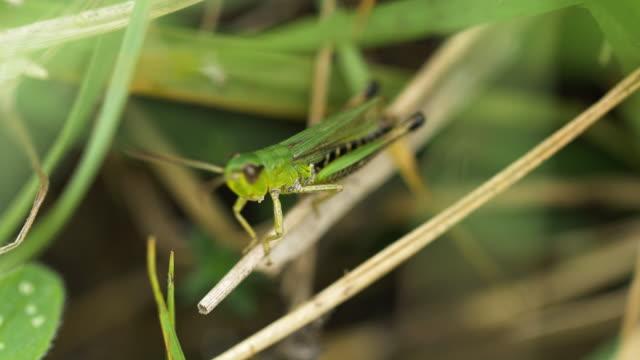 male meadow grasshopper (chorthippus parallelus), south downs - サウスダウンズ点の映像素材/bロール