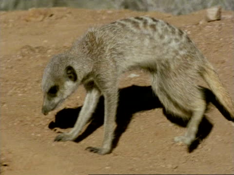 male meerkat, (suricata suricatta) stretches and digs near burrow ms, namaqualand, south africa - male animal stock videos & royalty-free footage