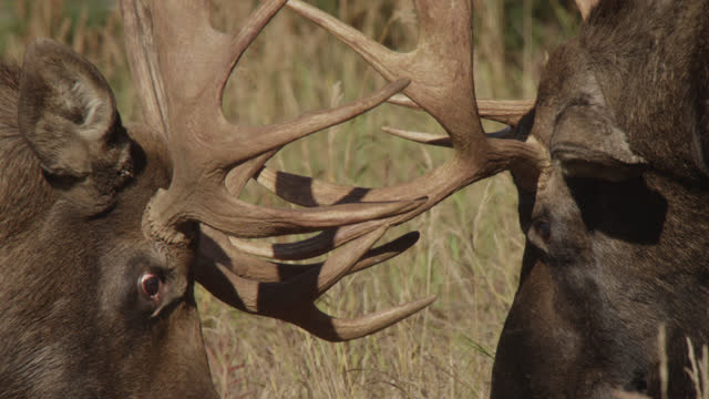 male moose lock antlers, alaska. - chugach national forest stock videos & royalty-free footage