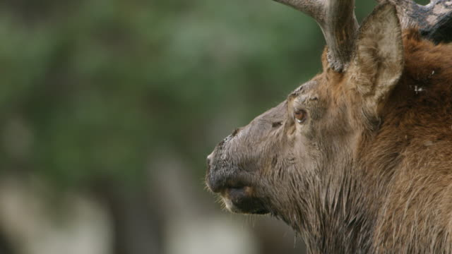 MS CU Male moose making animal call on grassy land / Yellowstone National Park, Wyoming, United States