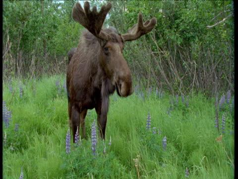male moose stands in clearing, alaska - ヘラジカ点の映像素材/bロール