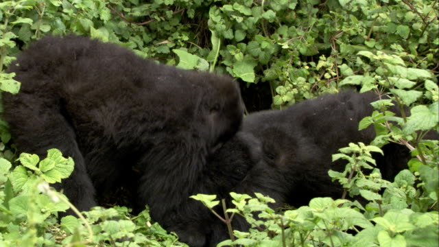 A male mountain gorilla bites its companion amid leafy vegetation. Available in HD.
