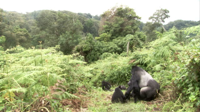 A male mountain gorilla mates while juveniles look on. Available in HD.
