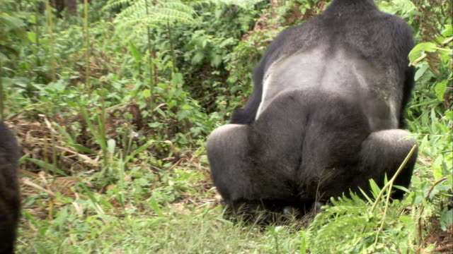 A male mountain gorilla mates with a female as another female approaches. Available in HD.