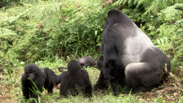 A male mountain gorilla mates with a female while juveniles watch nearby. Available in HD.
