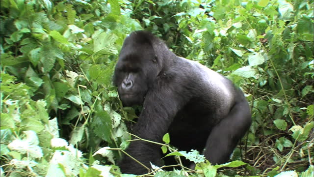 male mountain gorilla walking through the bushes in virunga national park - male animal stock videos & royalty-free footage
