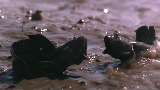 slomo male mudskippers fight on mudflats, japan - mudskipper stock videos and b-roll footage