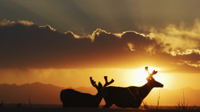 male mule deer silhouetted against the mountains at sunset in rocky mountain arsenal national wildlife refuge, denver, colorado. - silhouette stock videos & royalty-free footage