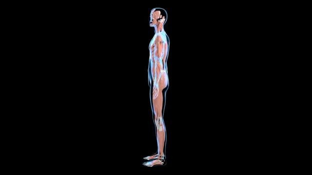 vídeos de stock, filmes e b-roll de male muscular system - ilustração biomédica