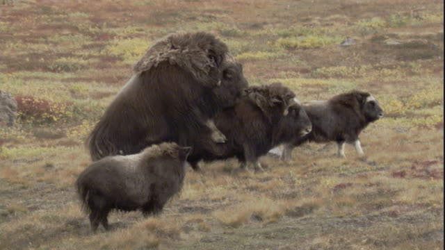 """vidéos et rushes de a male musk ox mounts and mates with a female. - """"bbc natural history"""""""