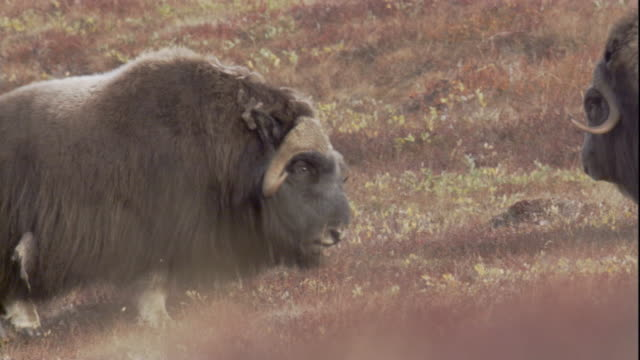 Male musk oxen chase each other across the tundra.