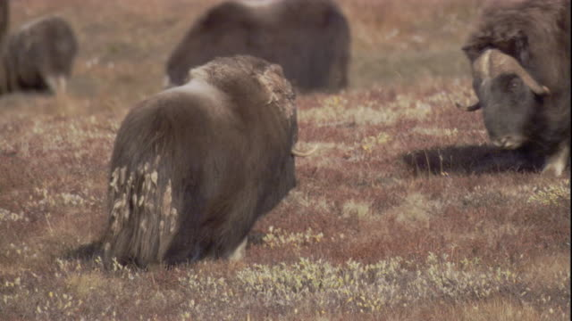 Male musk oxen fight for dominance.
